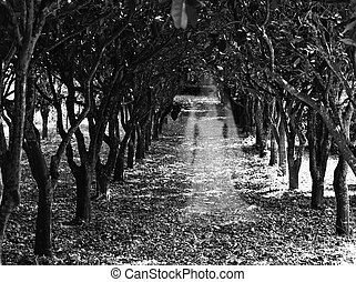 Orchard Ghost - Ghostly figure of a woman in an orchard in...