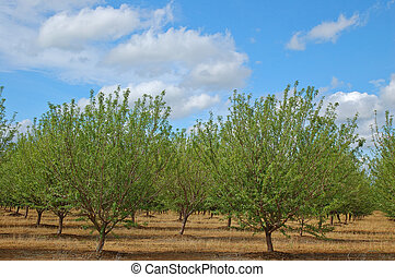 orchard in springtime