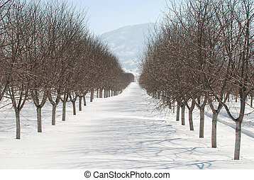 Orchard trees dormant during winter.