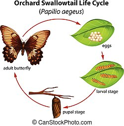 Orchard swallowtail life cycle illustration