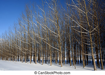 Orchard trees in winter.