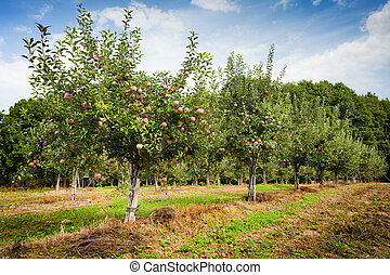 Orchard with apple trees with red apples