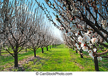 orchard with flowering trees