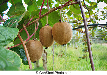 orchards with kiwi fruit ripened on a branch