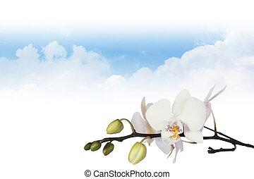 orchidée, à, nuages