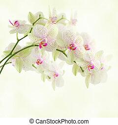orchidée, blanc