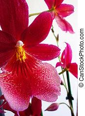 orchidée, cambria