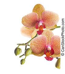 orchidée, frontière, beau