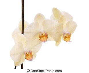 orchidée, isolé, white.