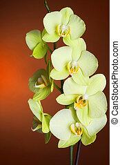 orchidée, phalaenopsis