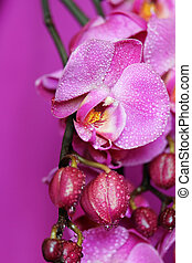 orchidée, pourpre
