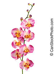 Orchid - A pink orchid