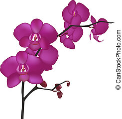 Orchid Branch, Isolated On White Background, Vector Illustration