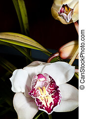Orchid Cymbindium flowering and bud 2