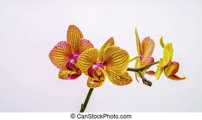 orchid dissolve their flowers on a white background. Time...
