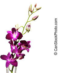 Orchid - Elegant purple orchid flowers isolated on white