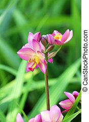 orchid flower. (Ground orchid, Spathoglottis)