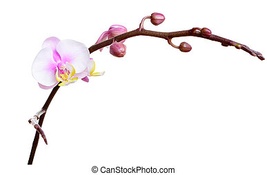 Orchid flower on white background