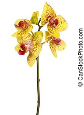 Orchid flower on white