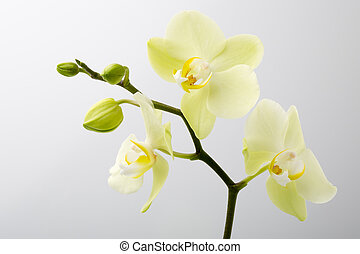 Orchid flower on the wooden background.