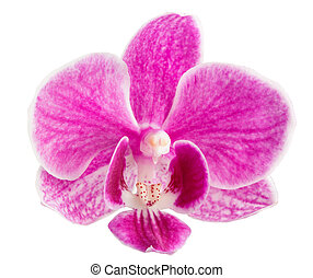 orchid flower, pink orchid isolated, orchid flower head - pink orchid head, isolated