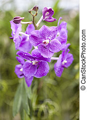 Orchid Garden. Beautiful purple orchid flowers on a branch...