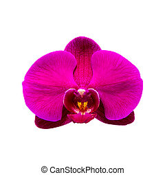 Orchid isolated on background.