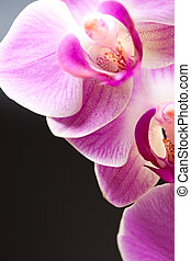 Orchid isolated on black background