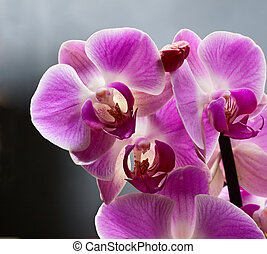 Orchid isolated on grey background