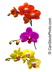 Orchid isolated on white background. Orchid set