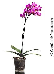 orchid isolated on white background (shallow dof)