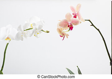 orchid, isolated on white