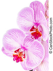 orchid lilac