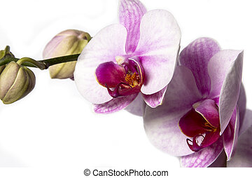 orchid on a white background