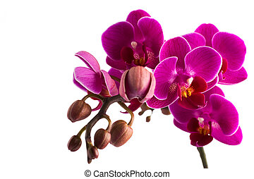 Orchid. - Orchid isolated on the white background.