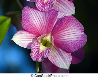 Orchid (Orchidaceae) - Close up of a Orchid flower...