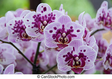 Orchid panicle