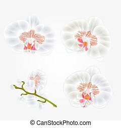 Orchid Phalaenopsis White flowers tropical plants green stem and buds vintage set First vector.eps