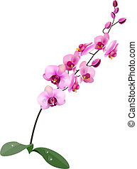 Orchid pink flower isolated on white background