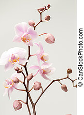 Pink orchid flowers with buds.