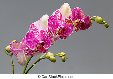 Pink orchid on a gray background. Studio photography.