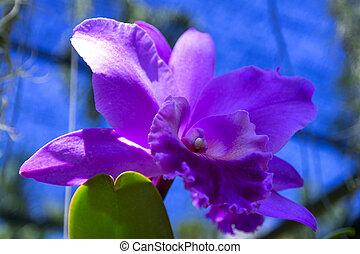 orchid., pinkish