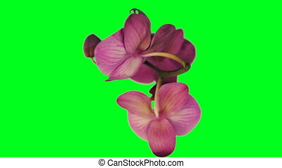 Orchid rotating seamless loop, against Green Screen