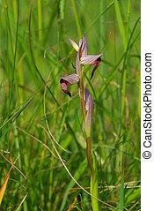 orchid Serapias 01