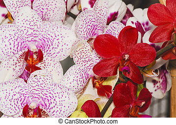 Orchid - Beautiful exotic flower - orchid blooms...