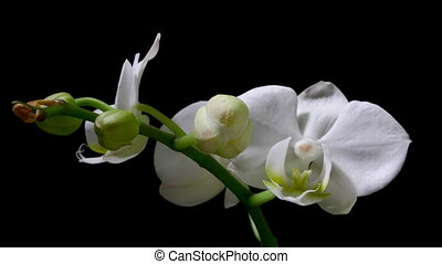 Orchid Timelapse - Timelapse of an orchid blooming.