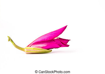 Orchid Tree on white background
