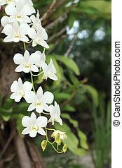 Orchid - white flowers