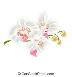 Orchid  white Phalaenopsis stem with flowers vector.eps
