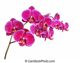 Orchidaceae on white background - Orchidaceae flower...